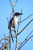Florida esfrega Jay (os coerulescens de Aphelocoma) Fotografia de Stock