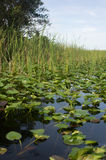 Florida Everglades Royaltyfri Bild