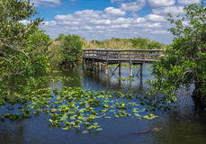 Florida Everglades Boardwalk. Anhinga Trail Boardwalk through the Everglades National Park, Florida with Alligator Swimming in Foreground Stock Image