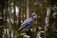 Everglades vulture resting in pond with mirror reflections of trees in the pond. Florida Everglades vulture resting in pond with reflections of trees in pond and stock images