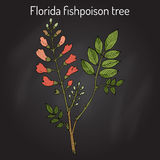 Florida fishpoison tree, or Jamaican dogwood, or fishfuddle Piscidia piscipula , tropical tree Royalty Free Stock Images