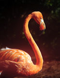 Florida flamingo Royalty Free Stock Photos