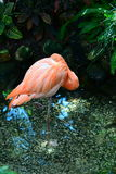 Florida Flamingo Royalty Free Stock Photography