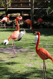 Florida Flamingos Strutting in Homosassa Springs Royalty Free Stock Images