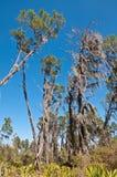 Florida Flatland Pine Forest Royalty Free Stock Photos