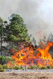 Florida Forest Ablaze. Controlled forest fire in Central Florida, 8 January 2010. Flames are well developed in this image, with brush fully engaged and pine royalty free stock photo