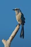 Florida Fregare-Jay (coerulescens di Aphelocoma) Fotografia Stock