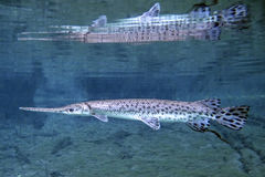 Florida Gar Adult - Fanning Springs Royalty Free Stock Photography