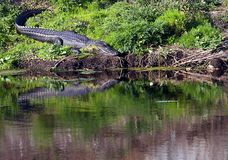 Florida gator. An alligator basking in the sun in FLorida with reflection in the water Royalty Free Stock Photos