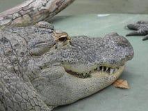 Florida Gator Imagens de Stock