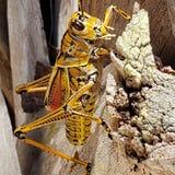 Florida giant lubber grasshopper stock photo