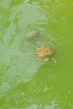 Florida gold back box Turtle Stock Photos