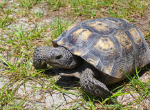 Florida Gopher Tortoise. Macro of a gopher tortoise stock photography