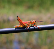 Florida Grasshopper. A large Orange Florida Grasshopper sunning in the Florida Everglades Stock Photography