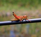 Florida Grasshopper Stock Photography