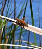 Florida Grasshopper Royalty Free Stock Images