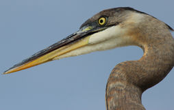 Florida Great Blue Heron Portrait Stock Image