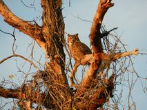 Florida Great Horned Owl. A beautiful Great Horned Owl sitting in a tree with a glow from the setting sun Stock Images