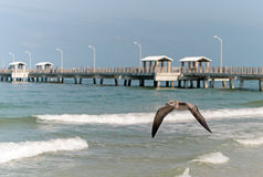Florida Gull in flight Royalty Free Stock Photography