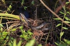 Florida ha legato i pictiventris di fasciata di Nerodia del serpente di acqua Immagini Stock