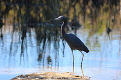 Florida heron and landscape Royalty Free Stock Images
