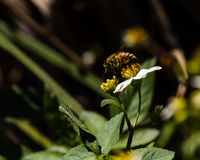 Florida Honey Bee Arkivfoto