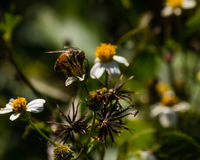 Florida Honey Bee stock photos