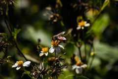 Florida Honey Bee Stock Image