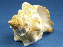 Florida horse conch seashell Stock Images