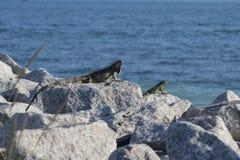 Key West iguana. Iguanas chillin on beach rocks in Florida Keys NAS Royalty Free Stock Photo