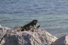 Key West iguana. Iguanas chillin on beach rocks in Florida Keys NAS Stock Image