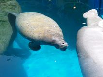 Florida imposta il manatee Fotografia Stock Libera da Diritti