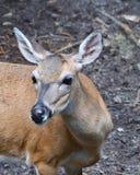 Florida Key deer Royalty Free Stock Photos