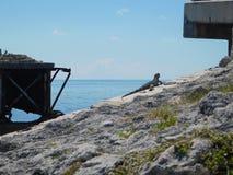 Iguana walking sunbathing on the old bridge stock images