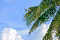Florida Keys Palm trees with large Cumulus clouds in the background sky stock photos