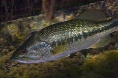 Florida Largemouth Bass - Hiding Under Log Stock Photos