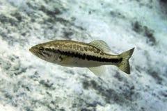 Florida Largemouth Bass Profile - Ichetucknee Springs. A Florida Largemouth Bass appears to be motionless in the crystal clear freshwaters of Ichetucknee Springs royalty free stock photos