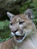 Florida-Leopard - Puma concolor Stockbilder