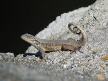 Lizard on the rock, close-up. Florida lirazd of agamidae, USA, america royalty free stock photos