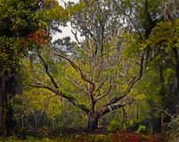 Florida Live Oak Tree Stock Photography