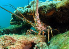 Free Florida Lobster Stock Image - 15104271