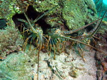Florida Lobsters Royalty Free Stock Photos