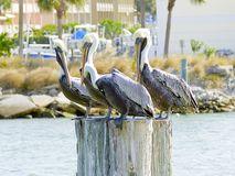 Florida, Madeira beach, three pelicans are perched on the trunk of a tree. Madeira beach, three pelicans are perched on the trunk of a tree in the harbor Stock Images