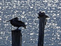 Florida, Madeira beach, three pelicans are perched on the trunk of a tree. Madeira beach, three pelicans are perched on the trunk of a tree in the harbor Royalty Free Stock Image