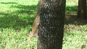 Florida, Maiami, bayside van Florida, Miami, in het stadspark een eekhoorn komt neer uit een palm om voedsel ter plaatse te zoeke stock video