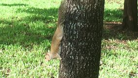 Florida, Maiami, Florida, Miami bayside, in the city park a squirrel comes down from a palm tree to look for food on the ground stock video
