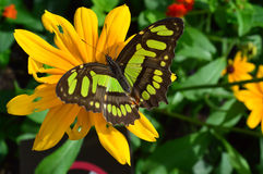 Florida Malachite Butterfly royalty free stock images