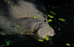 Florida manatee Stock Photos