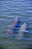 Florida manatee and calf Royalty Free Stock Image