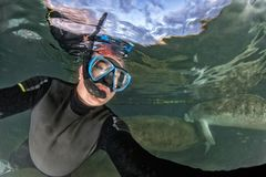 Florida manatee close up portrait approaching snorkelist stock photo